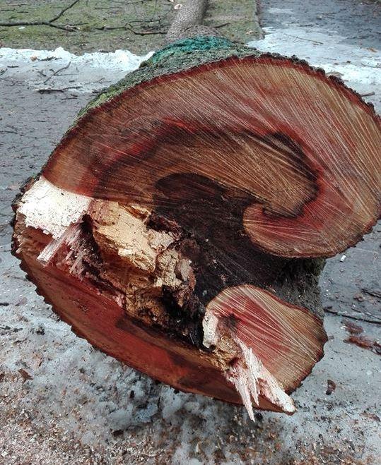 Krynica – Zdrój: drwale przerzedzili drzewostan w dwóch parkach
