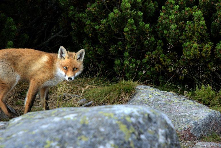 Ludzie przeciw myśliwym: redukcja czy rzeź lisów?