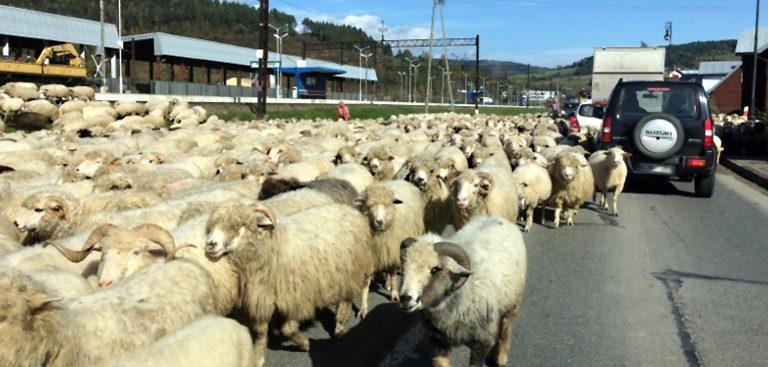 Wracają owce z beskidzkich hal