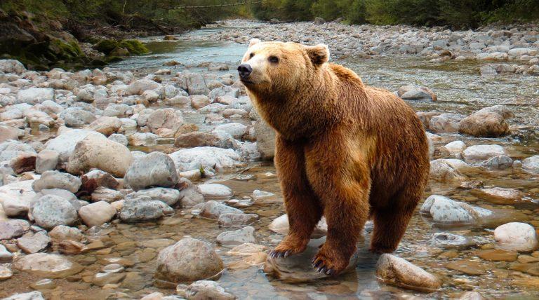 Niedźwiedź brunatny w paśmie Jaworzyny. Leśnicy radzą nie chodzić samotnie po Beskidach!