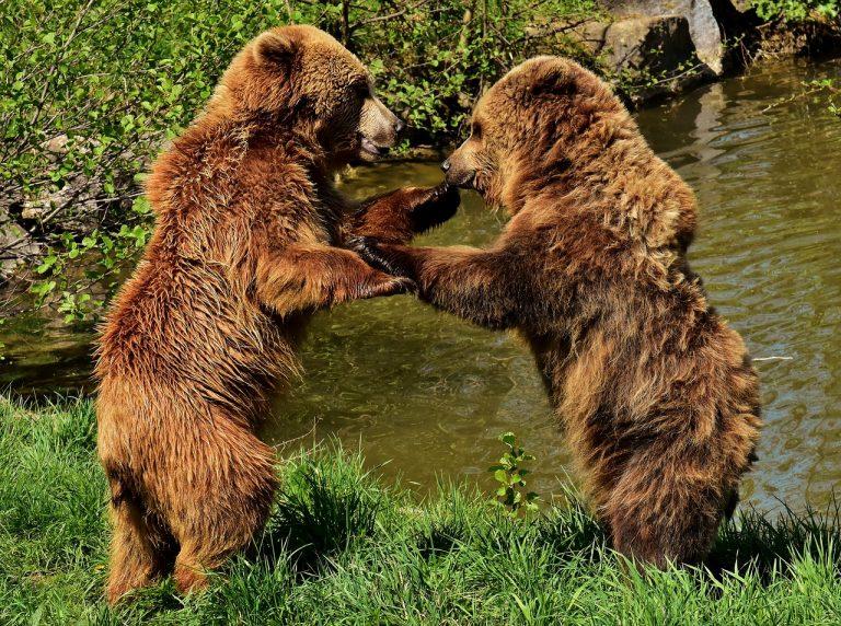 Niedźwiedzie polubiły Beskid Sądecki. Szukają smakołyków i partnerów…