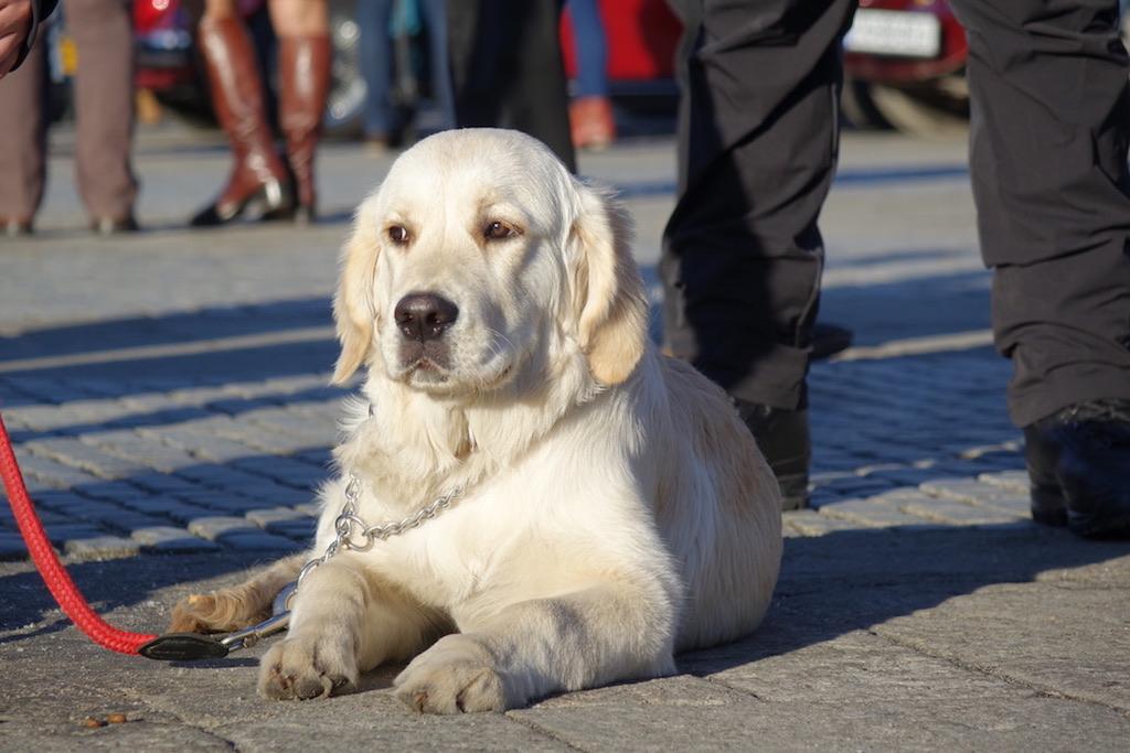 WOŚP Nowy Sącz, pokaz psów ratowniczych
