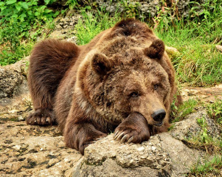 Szczawnik; Runek: przez Beskid Sądecki wędruje niedźwiedź