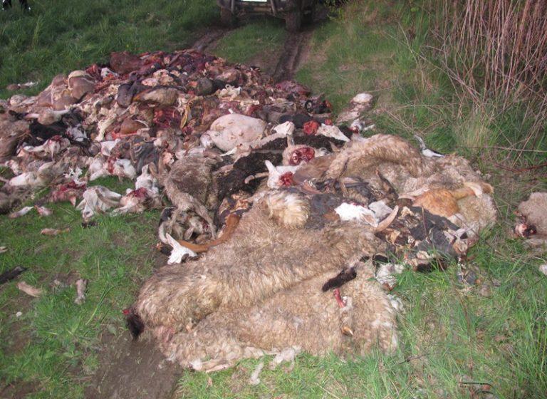 Zwierzęta zabito bez ogłuszenia. Są ustalenia prokuratury w sprawie szczątków znalezionych w Barcicach