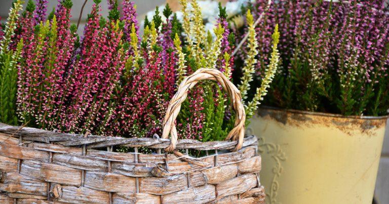"""Akcja """"kwiaty za elektro-graty"""". Castorama dziękuje sadzonkami wrzosów za oddanie zużytego sprzętu"""