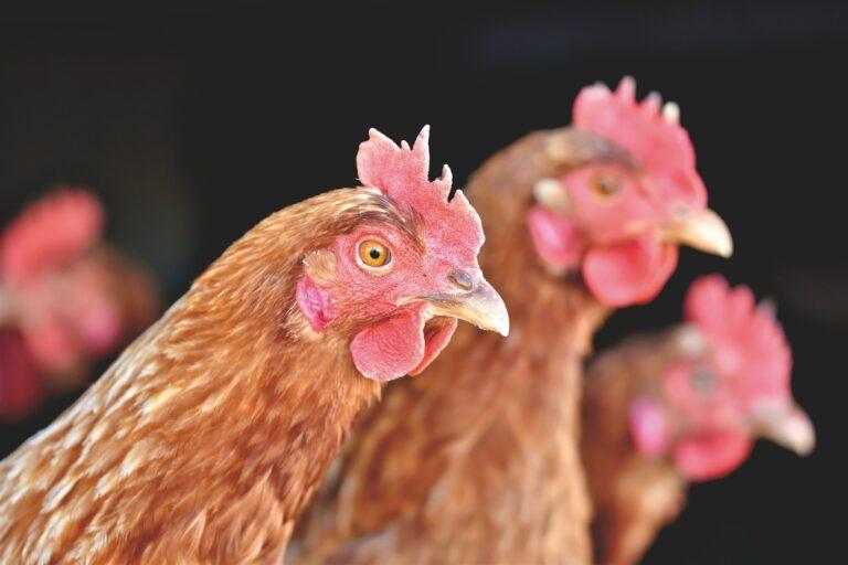 Jedenaste ognisko ptasiej grypy w naszym regionie. Na Sądecczyźnie zagazowano 30 tysięcy zwierząt, a w całym regionie – ponad 40 tys