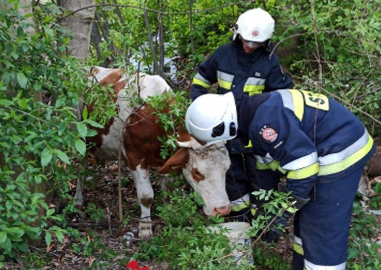 Posadowa Mogilska. Strażacy ratowali krowę, która utknęła w pułapce