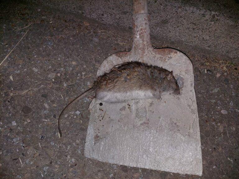 Nowy Sącz. Plaga szczurów na I Brygady. Wchodzą do domów
