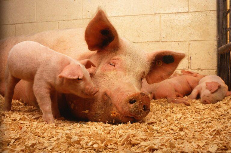 Uwaga! Afrykański pomór świń w regionie! Lekarz weterynarii wydał polecenie…