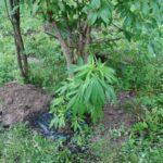 krzew konopi indyjskiej uprawiany w zaroślach nieopodal Krynicy