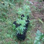 krzewy konopi indyjskich uprawiane w zaroślach nieopodal Krynicy
