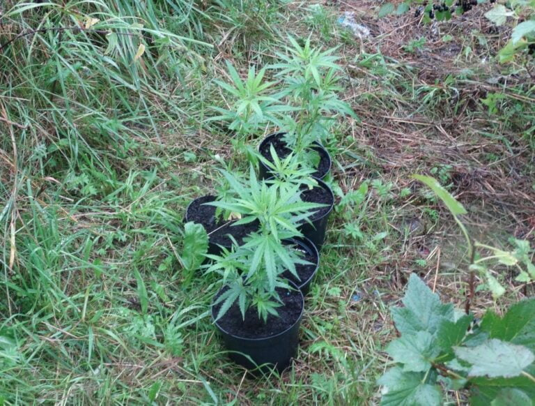 Krynica. Policja zarekwirowała dorodne krzaki konopi. 21-letni kryniczanin uprawiał je w zaroślach