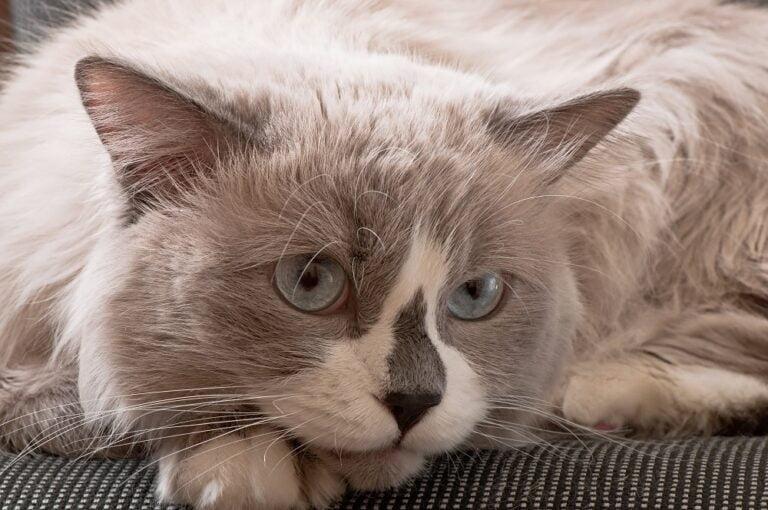 Popularne rasy kotów – kot Ragdoll